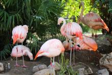 Flamingos at the Reid Park Zoo